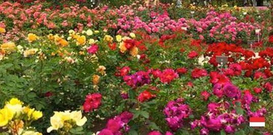 Сад роз Принцессы Грейс в Монако